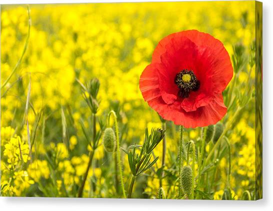 Canvas Print featuring the photograph Poppy. by Gary Gillette