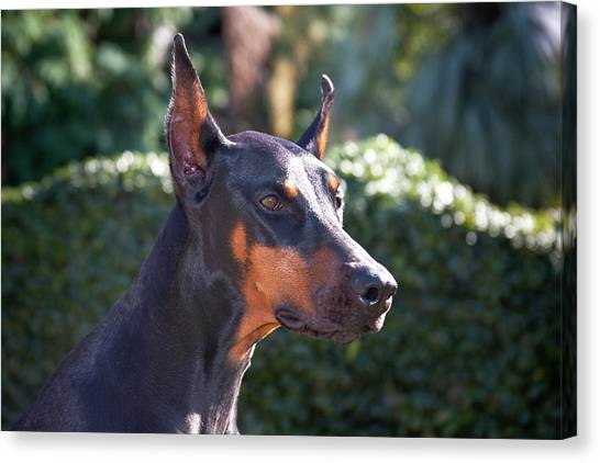 Doberman Pinschers Canvas Print - Portrait Of A Doberman Pinscher by Zandria Muench Beraldo