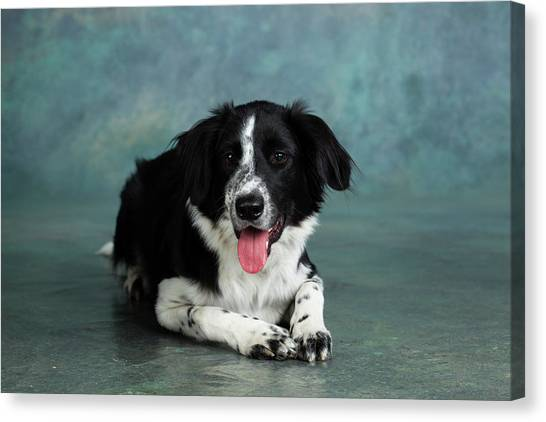 Border Collies Canvas Print - Portrait Of Border Collie Mix Dog by Animal Images