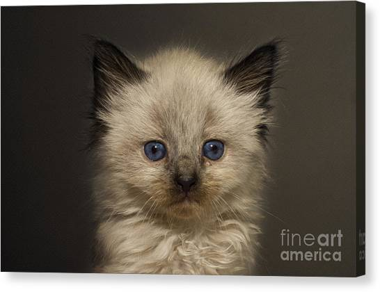 Andee Design Kitties Canvas Print - Precious Baby Kitty by Andee Design