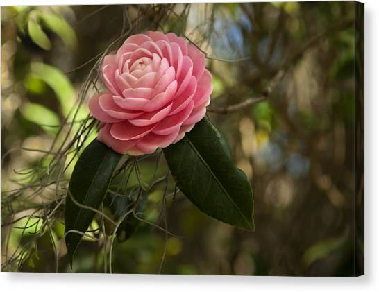 Pretty In Pink Canvas Print by Frank Feliciano