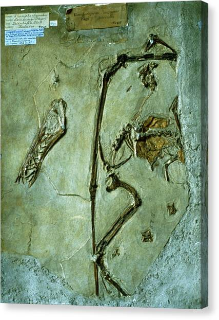 Pterodactyls Canvas Print - Pterodactyl Fossil by Sinclair Stammers/science Photo Library