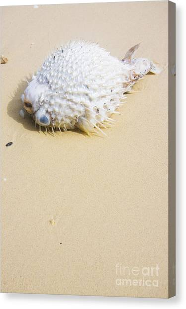 Puffer Canvas Print - Puffed Out Puffer Fish by Jorgo Photography - Wall Art Gallery