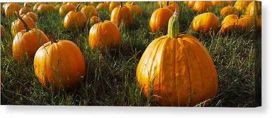 Vegetable Garden Canvas Print - Pumpkin Field, Half Moon Bay by Panoramic Images