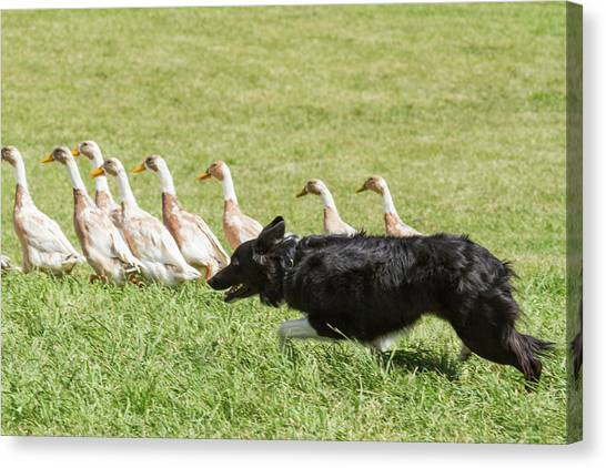 Border Collies Canvas Print - Purebred Border Collie Herding Ducks by Piperanne Worcester