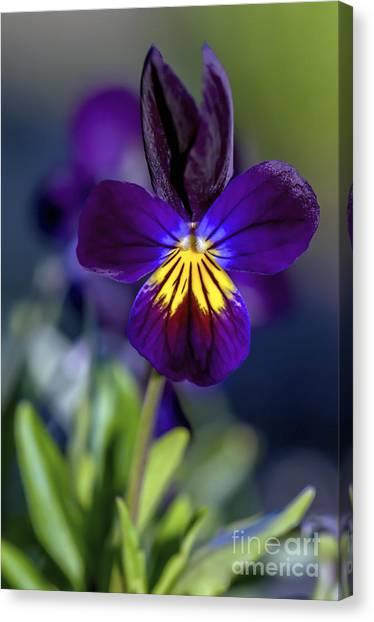 Purple Viola Canvas Print