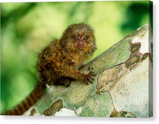 Pigmy Canvas Print - Pygmy Marmoset by Art Wolfe