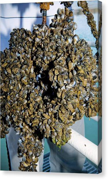 Quagga Mussels Canvas Print by Us Bureau Of Reclamation/andy Pernick