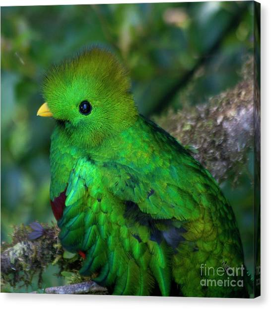 Canvas Print featuring the photograph Quetzal by Heiko Koehrer-Wagner