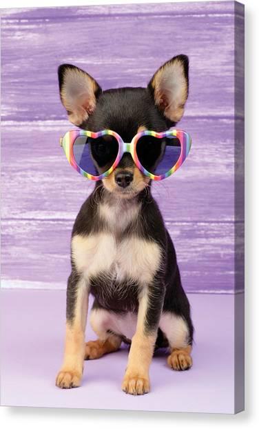 Chihuahuas Canvas Print - Rainbow Sunglasses by Greg Cuddiford