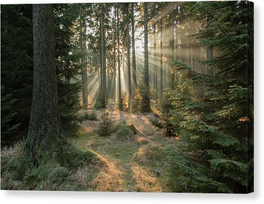 Fir Trees Canvas Print - Rays, Part 2 by Vincent Croce