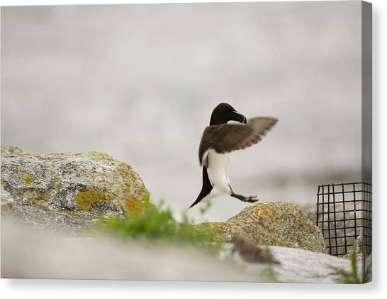 Razorbills Canvas Print - Razorbill Alca Torda, A Big Diving Bird by Jose Azel