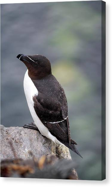 Razorbills Canvas Print - Razorbill by Simon Booth/science Photo Library