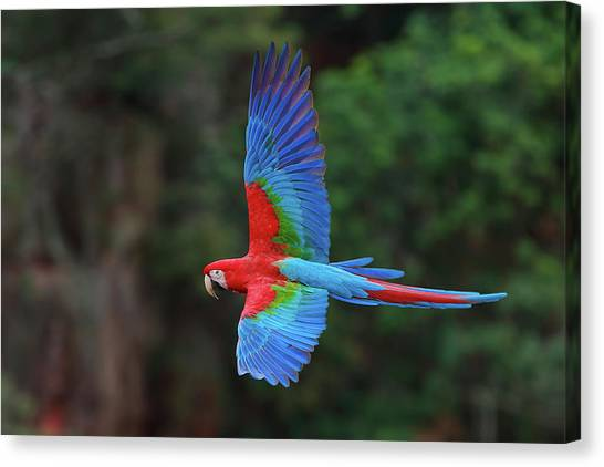 Macaw Canvas Print - Red-and-green Macaws, Ara Chloroptera by Mint Images/ Art Wolfe