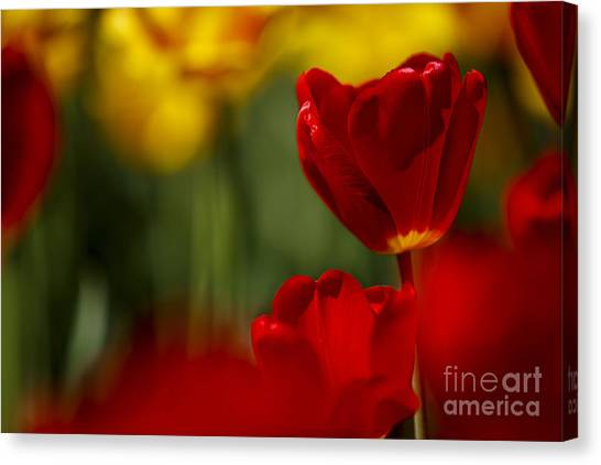 Red Tulip Canvas Print - Red And Yellow Tulips by Nailia Schwarz