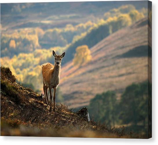 Red Deer Calf Canvas Print