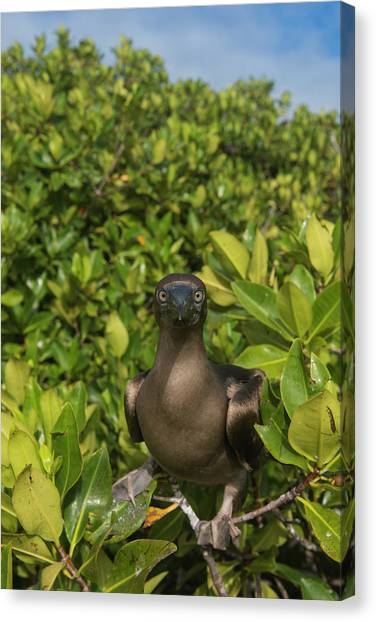 Boobies Canvas Print - Red-footed Booby (sula Sula Websteri by Pete Oxford