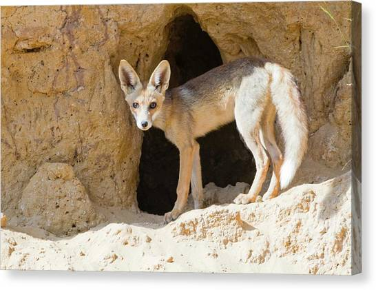 Red Fox (vulpes Vulpes) Canvas Print by Photostock-israel