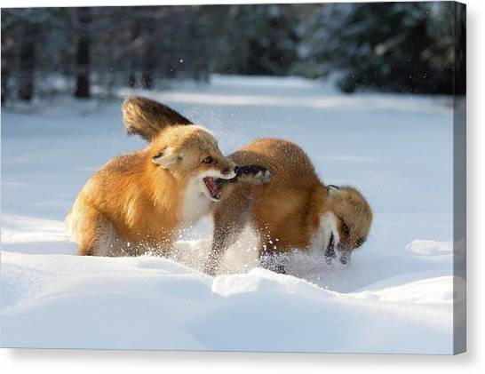 Red Foxes Interacting In Snow Canvas Print by Dr P. Marazzi/science Photo Library