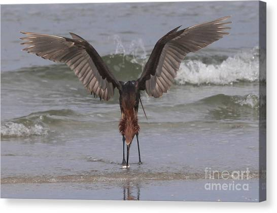 Reddish Egret Fishing Canvas Print