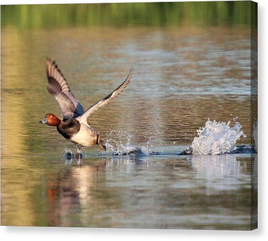 Redhead Drake Launch Canvas Print