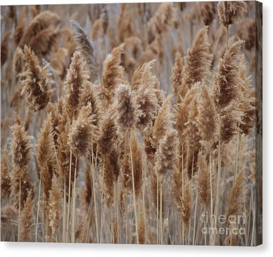 Wind Blown Redish Brown Plants Canvas Print