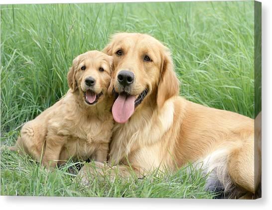 Golden Retrievers Canvas Print - Relaxing Retrievers by Greg Cuddiford