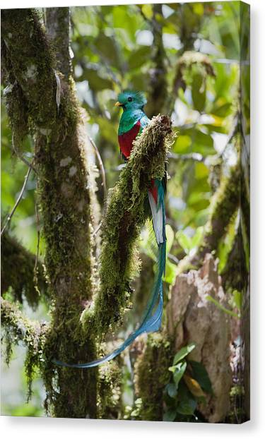 Canvas Print featuring the photograph Resplendent Quetzal Male Costa Rica by Konrad Wothe