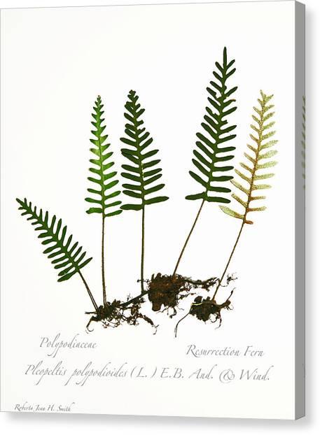 Resurrection Fern 2 Canvas Print