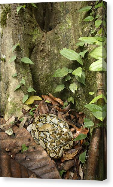 Reticulated Pythons Canvas Print - Reticulated Python by Chris Mattison/FLPA