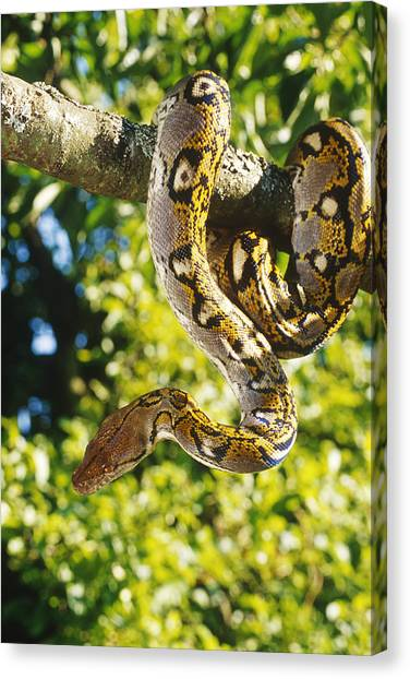 Reticulated Pythons Canvas Print - Reticulated Python by Steve Cooper