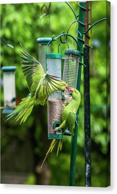Parakeets Canvas Print - Ring-necked Parakeets On Bird Feeders by Georgette Douwma/science Photo Library