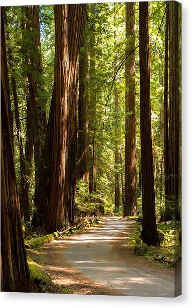 Redwood Forest Canvas Print - Road Through The Redwoods by Clay Townsend