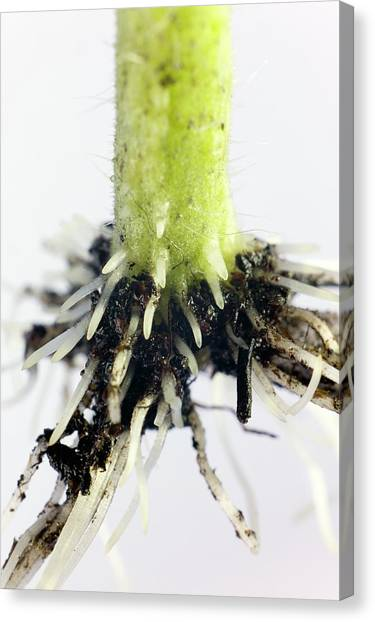 Root Formation By A Tomato Cutting Canvas Print by Dr Jeremy Burgess