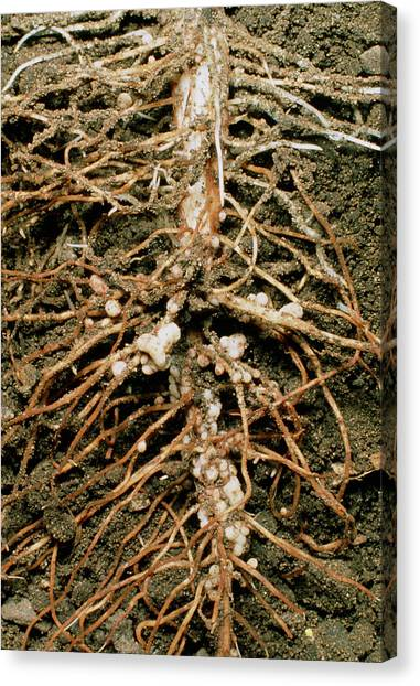 Root Nodules Of Broad Bean Canvas Print by Dr Jeremy Burgess/science Photo Library