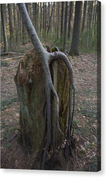 Rooted Down  Canvas Print by Eugene Bergeron