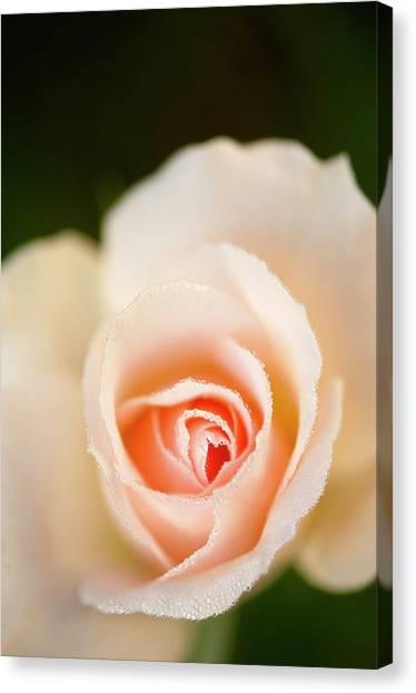 Rosa 'johann Strauss' Flower Canvas Print by Maria Mosolova