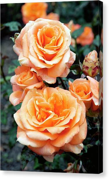 Rose (remy Martin) Canvas Print by Brian Gadsby/science Photo Library