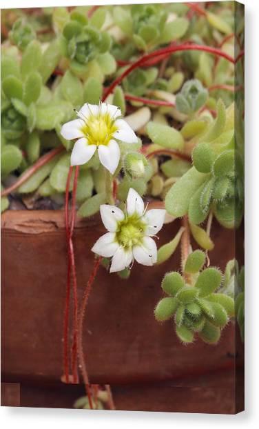 Rosularia Sedoides Var Alba Canvas Print by Science Photo Library