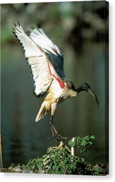 Ibis Canvas Print - Sacred Ibis by Tony Camacho/science Photo Library