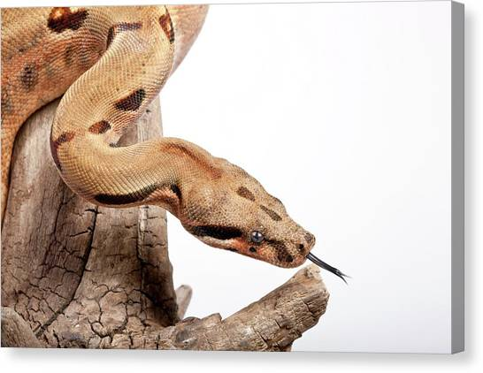 Boa Constrictors Canvas Print - Salmon Boa Constrictor by Pascal Goetgheluck/science Photo Library