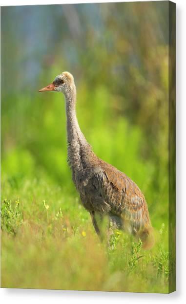 Sandhill Crane Canvas Print - Sandhill Crane Chick Resting In Grass by Maresa Pryor