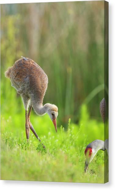 Sandhill Crane Canvas Print - Sandhill Crane Feeding Chick, Grus by Maresa Pryor
