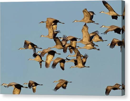 Sandhill Crane Canvas Print - Sandhill Cranes Leave Corn Fields by Chuck Haney
