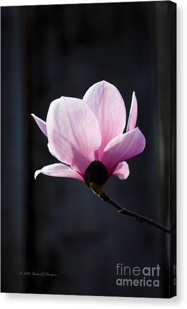 Saucer Magnolia Canvas Print