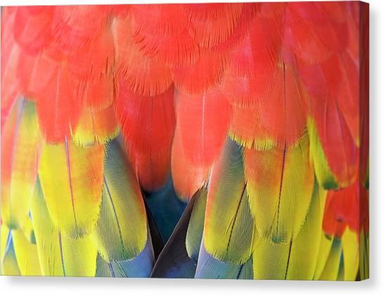 Macaws Canvas Print - Scarlet Macaw Plumage by Tony Camacho
