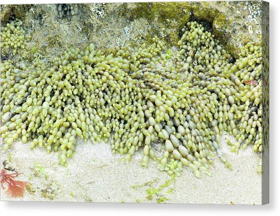 Neptune Canvas Print - Sea Grapes (hormosira Banksii) by Dr Jeremy Burgess/science Photo Library