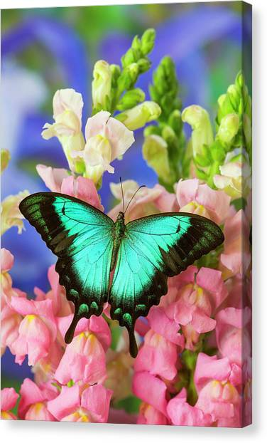 Snapdragons Canvas Print - Sea Green Swallowtail Butterfly, Papilio by Darrell Gulin