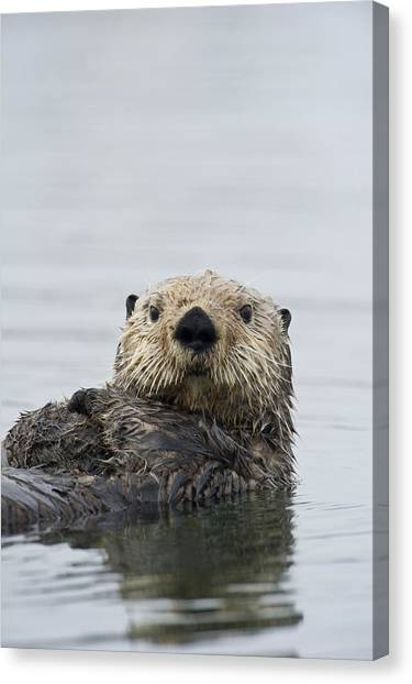 Otters Canvas Print - Sea Otter Alaska by Michael Quinton
