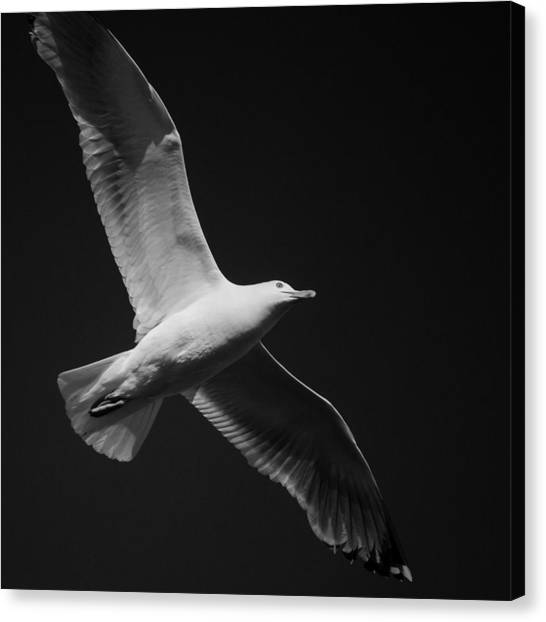 Seagull Underglow - Black And White Canvas Print